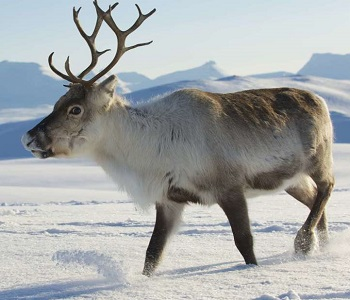 Meet Rudolph The Red Nosed Reindeer And The Other Santa S Reindeer